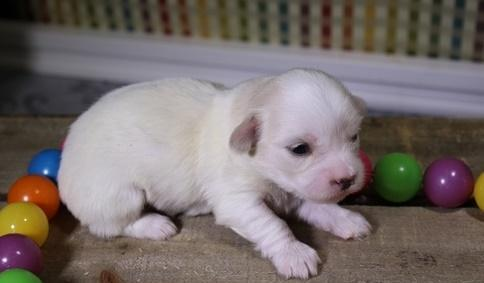 Top quality Coton De Tulear Puppies Ready Now For Sale