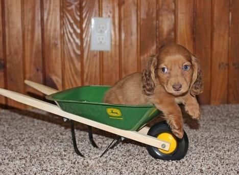 Top quality Dachshund Puppies Ready Now For Sale