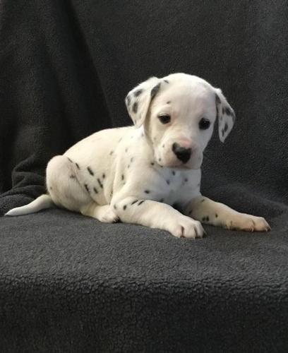 Top Quality Dalmatian Puppies Ready Now For Sale For Sale In Chicago