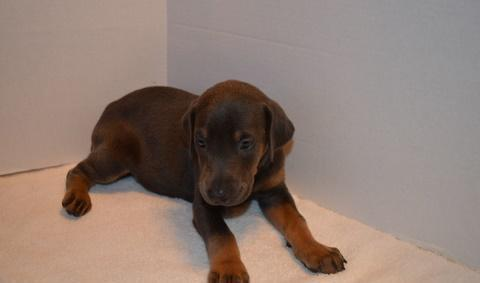 Top quality Doberman Pinscher Puppies Ready Now For