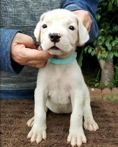 Top quality Dogo Argentino Puppies Ready Now For Sale