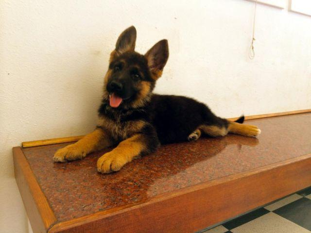 red and black german shepherd puppies for sale top quality german shepherd puppies akc chion pedigree 3652