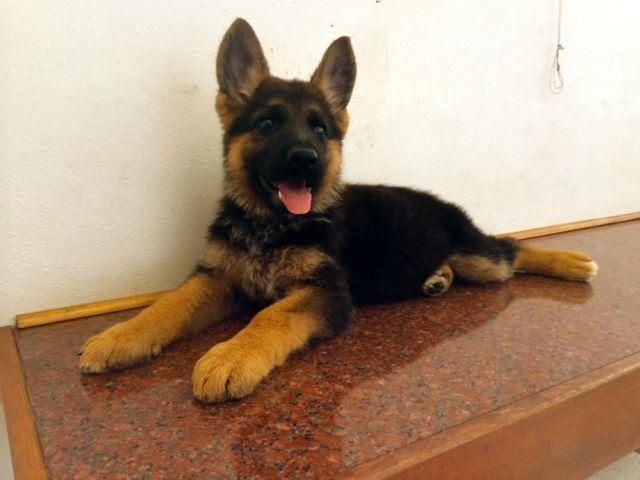 Red and black german shepherd dog - photo#18