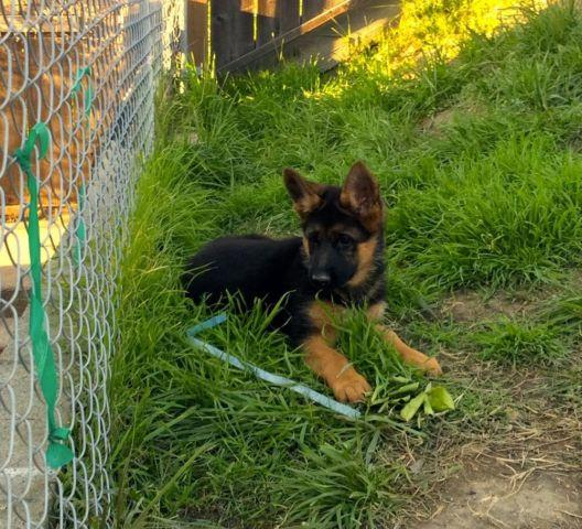 Top Quality German Shepherd Puppies Akc Champion Pedigree Red Black Americanlisted