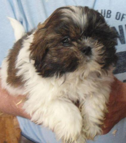 Top Quality Male Shih Tzu Puppies For Sale In Byron New York