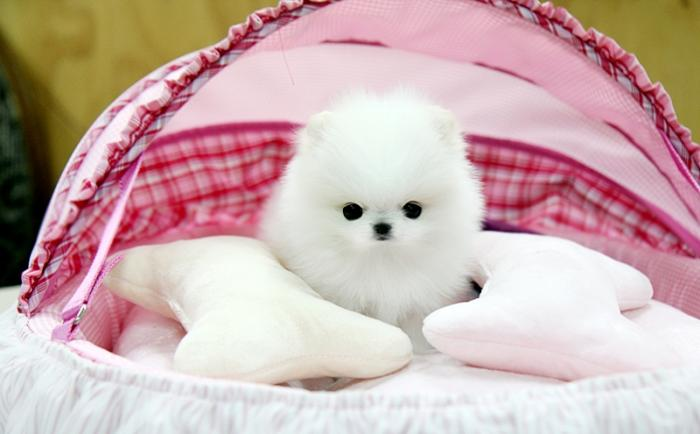 Teacup Pomeranian Classifieds Buy Sell Teacup Pomeranian Across