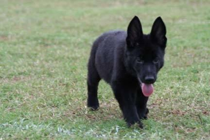 Top Quality Solid Black/Bi-Color German Shepherd Puppies Form Imported for Sale in Mountain View ...