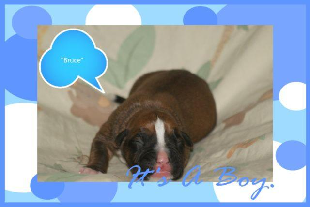 Top Shelf AKC Boxer Puppies for Rehoming!!!