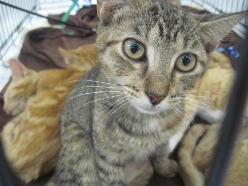 Torbie - Latisa - Small - Young - Female - Cat