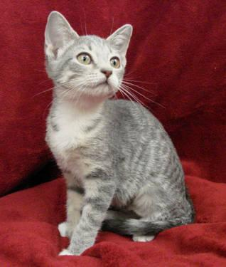 Torbie - Sharay - Small - Adult - Female - Cat