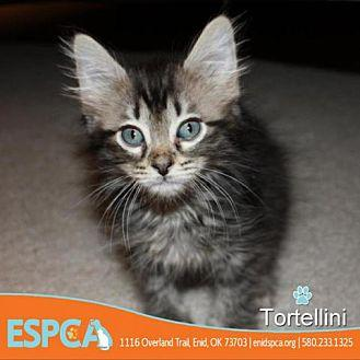 Tortellini Domestic Shorthair Kitten Female