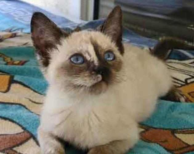 Tortie Point Siamese Kitten For Sale In Eden North Carolina Classified Americanlisted Com