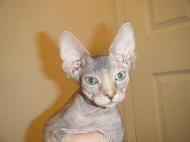 Tortie Sphynx kitten - very playful and loving