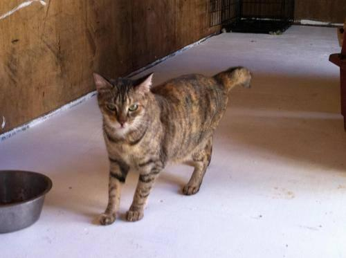 Tortoiseshell - Callie - Medium - Young - Female - Cat
