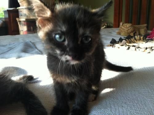 Tortoiseshell - Cammi - Medium - Baby - Female - Cat for