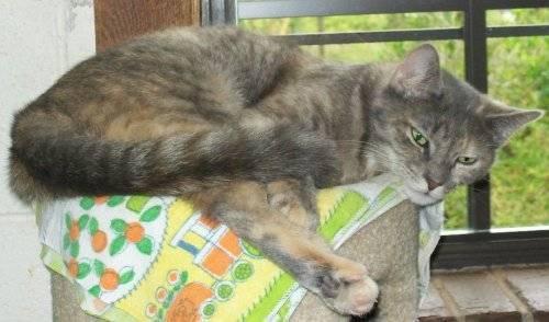 Tortoiseshell - Joe's Cat - Small - Adult - Female -