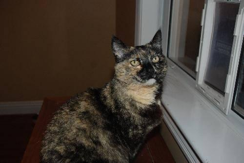 Tortoiseshell - Mischa - Medium - Baby - Female - Cat