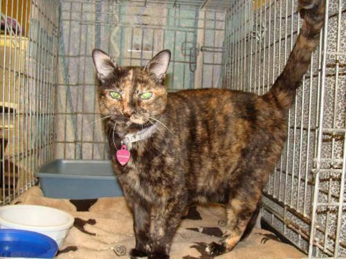 Tortoiseshell - Tangy - Medium - Senior - Female - Cat