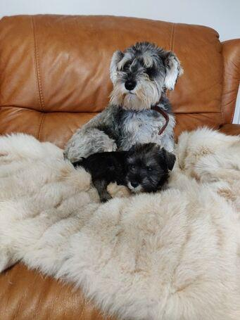 ******** Totally Adorable Miniature Schnauzer
