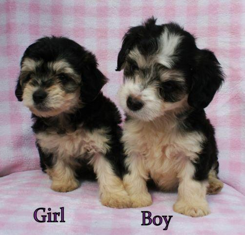 Totally Adorable Miniature Schnoodle Puppies For Sale In Lakeside