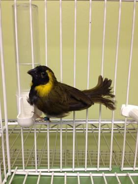 Towa towa/curio breeding pairs of finches for sale