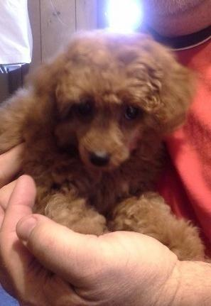 Toy And Tiny Toy Poodle Puppies For Sale In Whitewater
