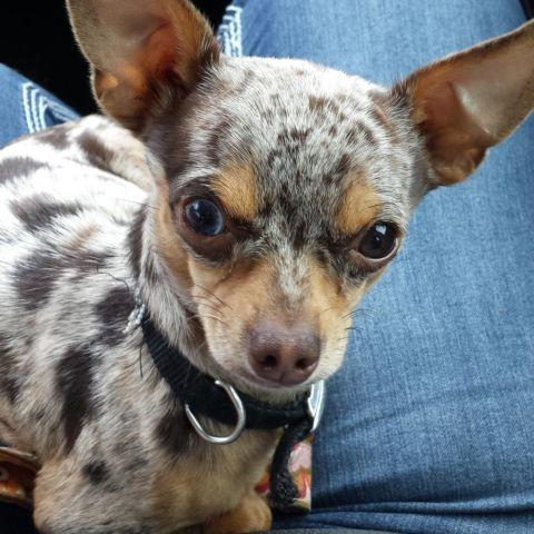 Blue Merle Chihuahua For Sale In Georgia Classifieds Buy And Sell