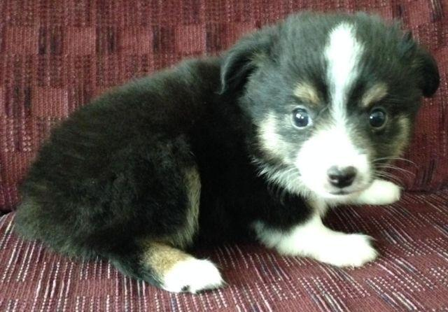 Toy Aussie Puppies Ready Now For Sale In Iva Indiana Classified