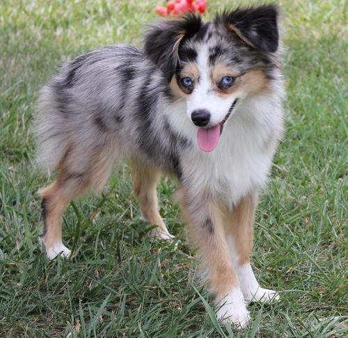 Toy Australian Shepherd Puppy for Sale - Adoption, Rescue ...