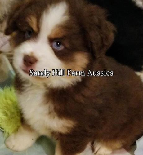 Toy Australian Shepherd Puppy for Sale - Adoption,