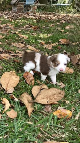 Toy Australian Shepherd Puppy Red Merle Male - Trouble for