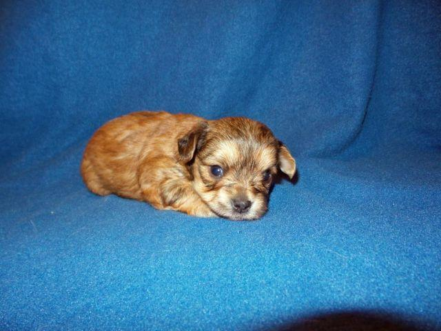 Toy Chorkie Puppies Ready May 31st Chihuahua Yorkie For Sale In