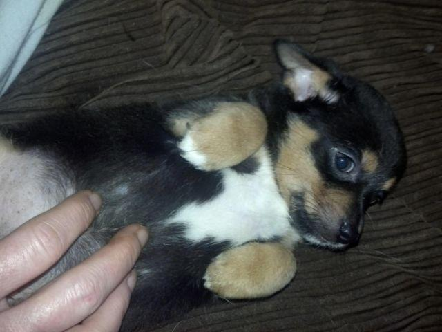 Toy Fox Terrier Chihuahua Mix for Sale in Wooster, Ohio Classified ...