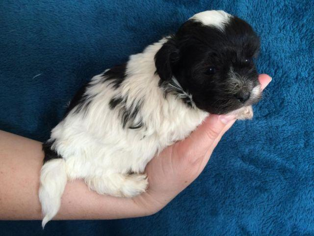 Toy Havanese Puppy For Sale In Huffman Texas Classified