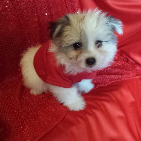 Toy Maltipoo Male Puppy For Adoption 9 Weeks Old For Sale