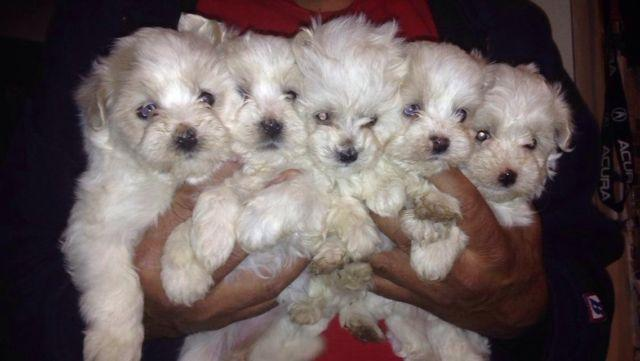 Toy Maltipoo puppies! 3 months old