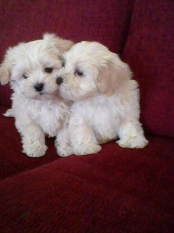 Pets And Animals For Sale In Hamilton North Carolina Puppy And