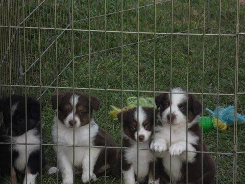 Toy/Mini Aussie Puppies