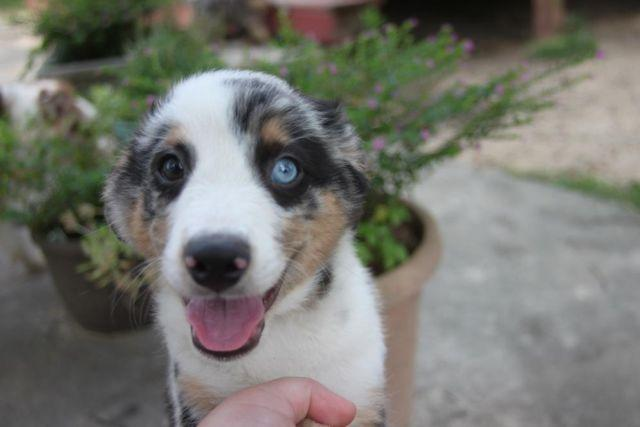 Toymini Aussiedoodles For Sale In Aiken South Carolina