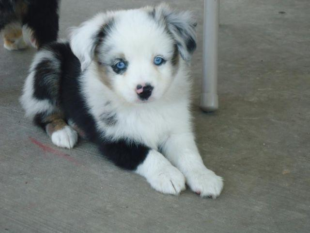 Blue Heeler Pets And Animals For Sale In Baytown Texas Puppy And