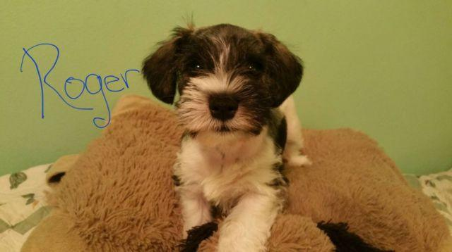 Toy Mini Schnauzer Puppies