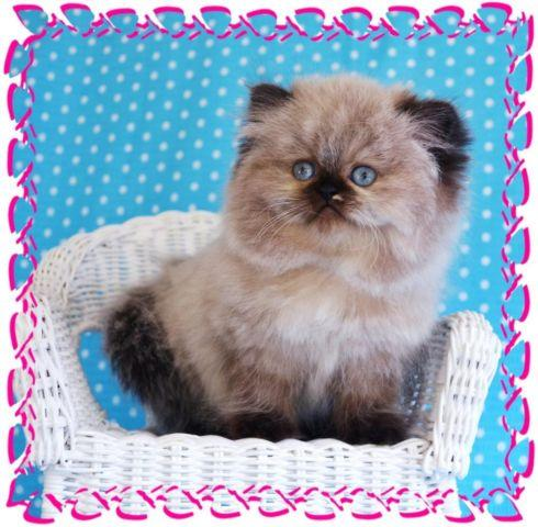 Toy Persian Kittens for sale for Sale in Fort Wayne, Indiana ...