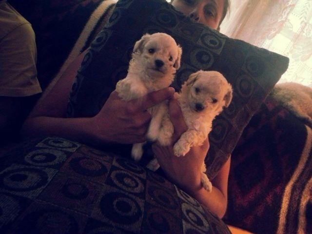 Toy Poodle For Sale In Columbus Ohio Classified