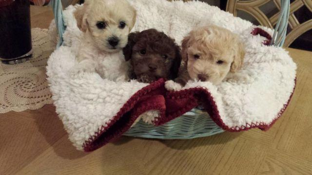 Toy Poodle And Bichon Frise Mix Puppies For Sale In