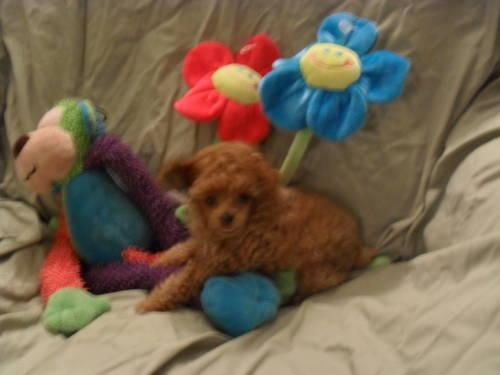 TOY Poodle BEAUTIFUL Apricot Female $1000.00
