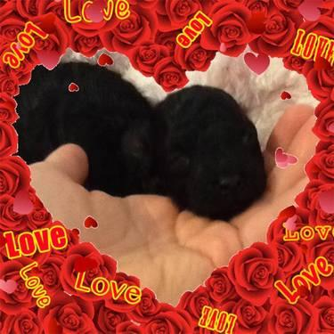 toy poodle black
