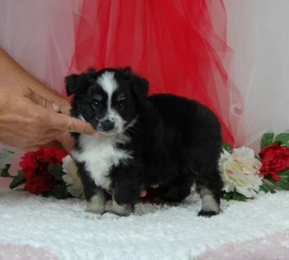 Toy poodle. Female