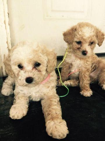 Toy Poodle Females For Sale In Desert Aire Washington