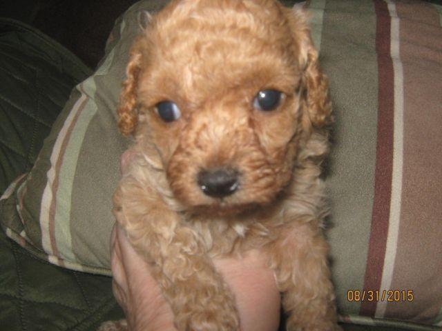 Toy Poodle -- Lucy