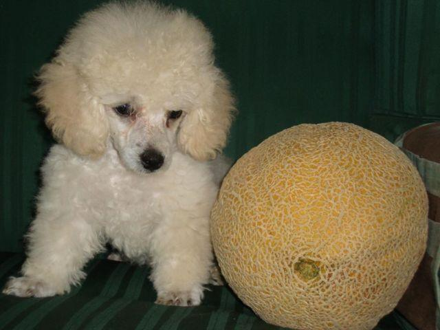 Toy Poodle male puppy